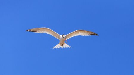 Elegant tern, Thalasseus elegans, flying across a blue sky in search of fish in Huntington Beach, Southern California Stock Photo