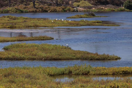 egrets: A cluster of egrets foraging in a marsh in Huntington Beach, California Stock Photo