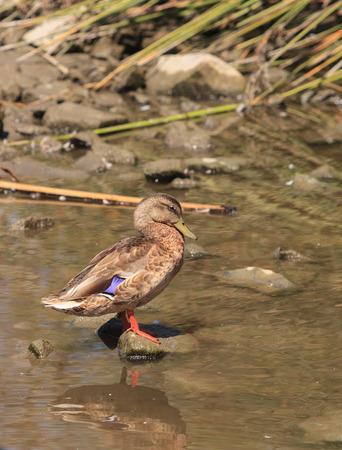 gentile: Wild Mallard duck, Anas platyrhynchos, at the edge of a pond Stock Photo