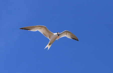 across: Elegant tern, Thalasseus elegans, flying across a blue sky in search of fish in Huntington Beach, Southern California Stock Photo