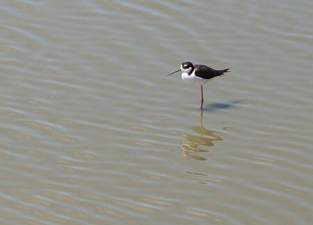 Black-necked stilt, Himantopus mexicanus, shore bird Stock fotó