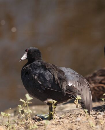 fulica: American Coot Duck, Fulica americana, at the side of a pond in summer