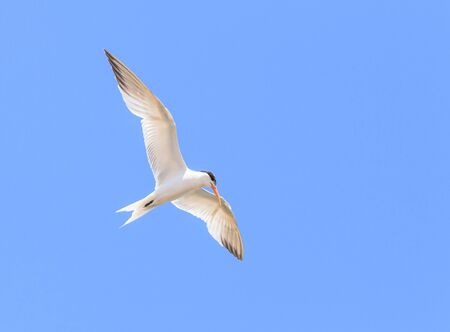 fly fish: Elegant tern, Thalasseus elegans, flying across a blue sky in search of fish in Huntington Beach, Southern California Stock Photo