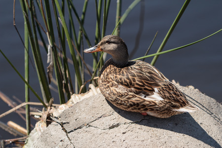 anas platyrhynchos: Wild Mallard duck, Anas platyrhynchos, at the edge of a pond Stock Photo