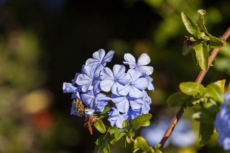 auriculata: Imperial Blue Plumbago, Cape Leadwort, Plumbago auriculata blooms in spring in California Stock Photo