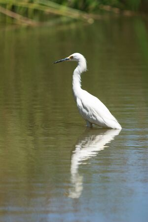 southern california: Snowy Egret, Egretta thula, forages in a tidal pool in Irvine, Southern California