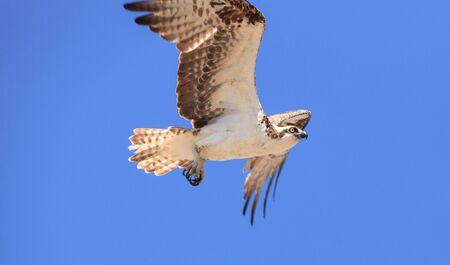 osprey bird: Osprey bird, Pandion haliaetus, flies across a blue sky in spring