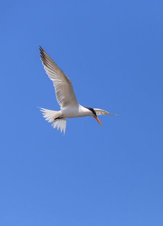 white bird: Elegant tern, Thalasseus elegans, flying across a blue sky in search of fish in Huntington Beach, Southern California Stock Photo