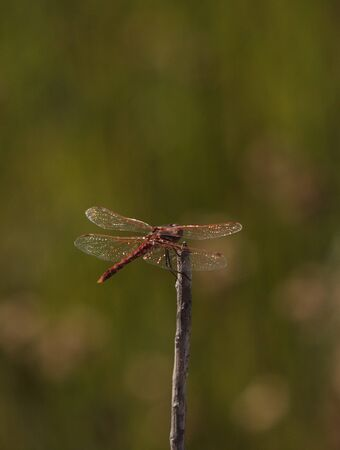 skimmer: Red rock skimmer dragonfly, Paltothemis lineatipes, perched on a branch Stock Photo
