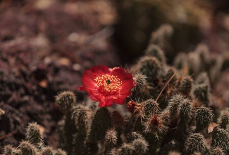 carnegiea: Yellow and pink flowers on Ferocactus rectispinus cactus Stock Photo