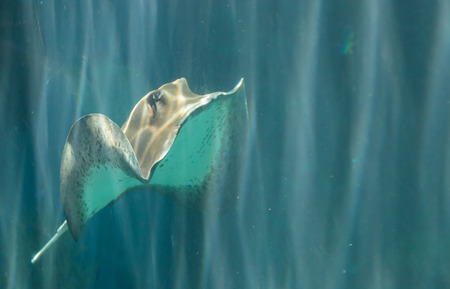 cano: A whiptail stingray Dasyatis americana is found in the Atlantic Ocean in tropical waters. Stock Photo