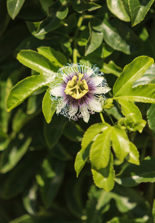 incarnate: Purple and white passionflower fruit, Passiflora incarnate, booms on the green vine in summer