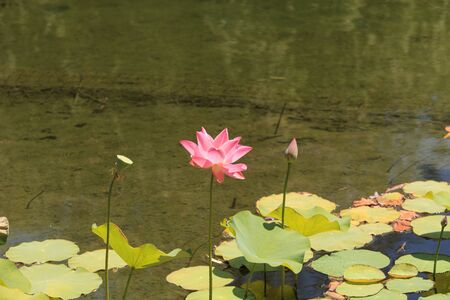 koi pond: Pink lotus flower blooms over a koi pond in Southern California.