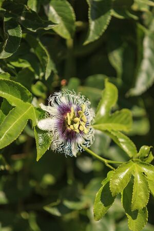incarnate: Purple and white passion flower fruit, Passiflora incarnate, booms on the green vine in summer