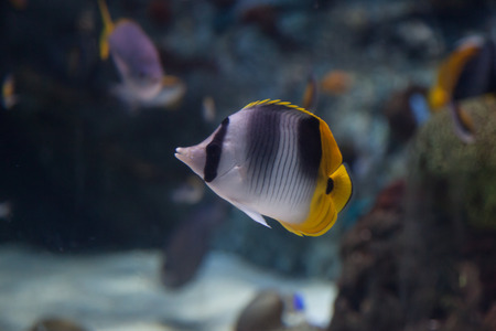 butterflyfish: Threadfin butterflyfish, Chaetodon auriga, is a yellow, white and black fish with a sharp, pointed mouth
