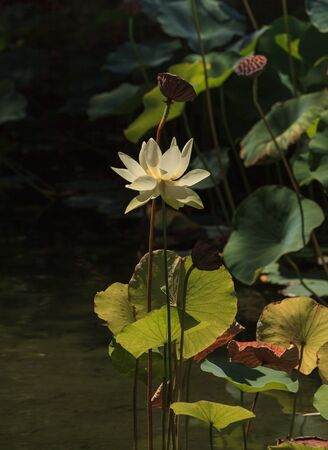 koi pond: Yellow lotus flower on top of a koi pond in Southern California