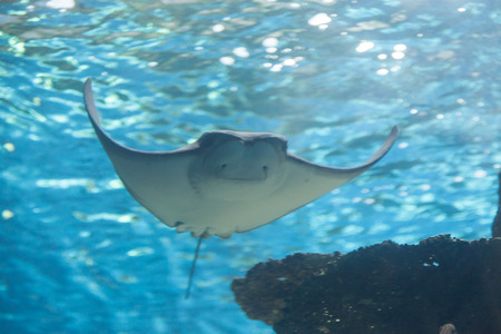 A whiptail stingray Dasyatis americana is found in the Atlantic Ocean in tropical waters. 스톡 콘텐츠