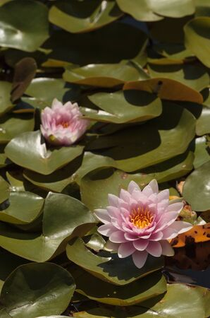 koi pond: Pink water lily flower on top of a koi pond in Southern California