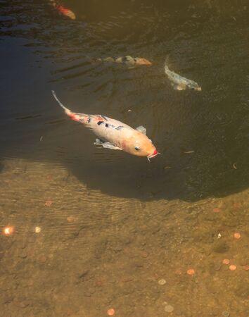 kohaku: Koi fish, Cyprinus carpio haematopterus, eating in a koi pond in Japan