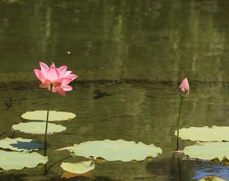 koi pond: Pink and yellow lotus flower on top of a koi pond in Southern California