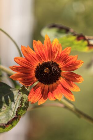 helianthus: Orange Sunflower, Helianthus annuus, blooms in spring on a green and blue blurred background