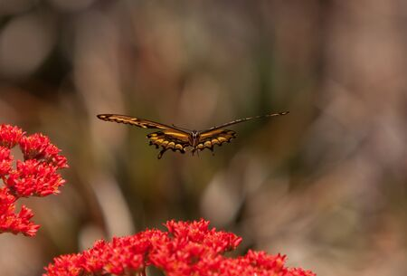 papilio: Anise swallowtail butterfly, Papilio zelicaon, hovers over a red flower.