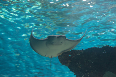A whiptail stingray Dasyatis americana is found in the Atlantic Ocean in tropical waters. Stok Fotoğraf