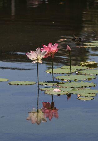 koi pond: Pink lotus flower on top of a koi pond in Southern California