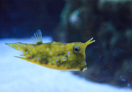 boxfish: Longhorn cowfish, Lactoria cornuta, is from the boxfish family and can be found in the Indo-Pacific. Stock Photo
