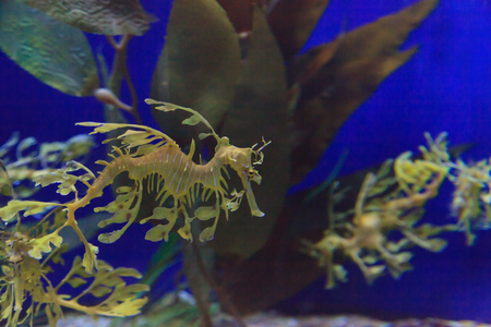 appendages: The leafy seadragon, Phycodurus eques, is often yellow and has many leaf-like appendages to help it blend in. Stock Photo