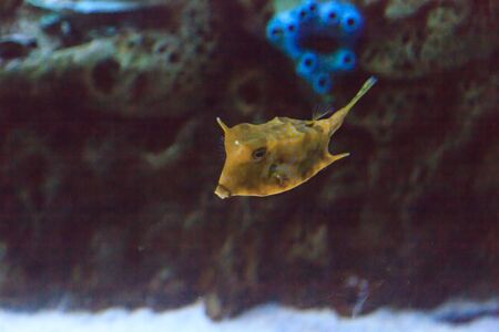 longhorn: Longhorn cowfish, Lactoria cornuta, is from the boxfish family and can be found in the Indo-Pacific. Stock Photo