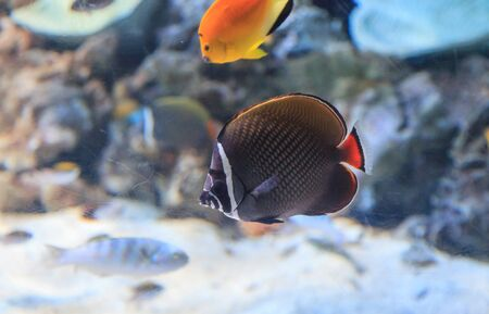 butterflyfish: Redtailed butterflyfish, Chaetodon collare, on a marine reef