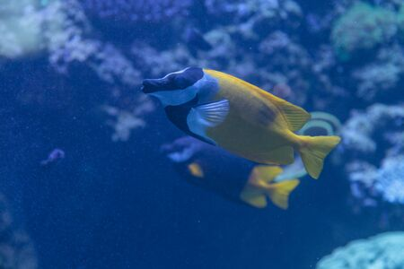 Foxface rabbitfish, Siganus vulpinus, is a yellow fish with black and white bands across its face.