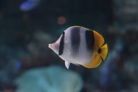 chaetodon: Threadfin butterflyfish, Chaetodon auriga, is a yellow, white and black fish with a sharp, pointed mouth
