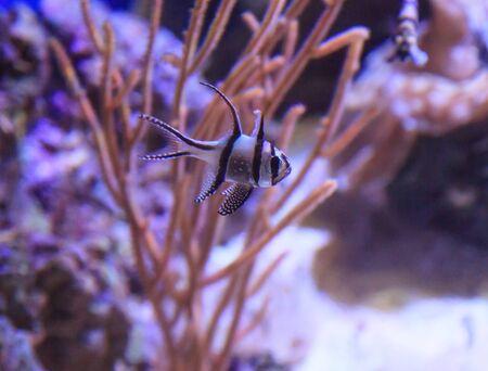 Banggai cardinalfish, Pterapogon kauderni, is a black and white tropical fish found in the Banggai Islands of Indonesia.
