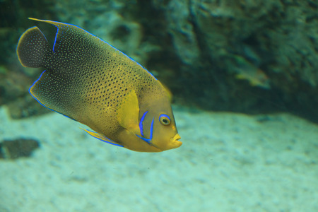 aquaria: Bermuda blue Angelfish, Holacanthus bermudensis, is yellow and blue, and can be found in Bermuda