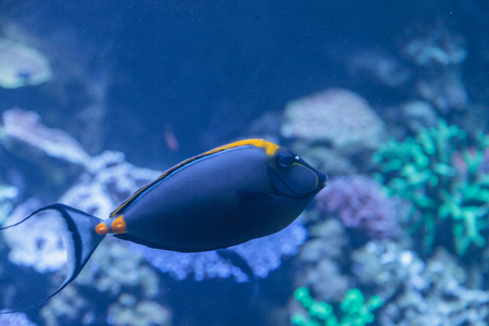 clown tang: Orangespine unicornfish, Naso lituratus, is found in the Indian and Pacific Ocean