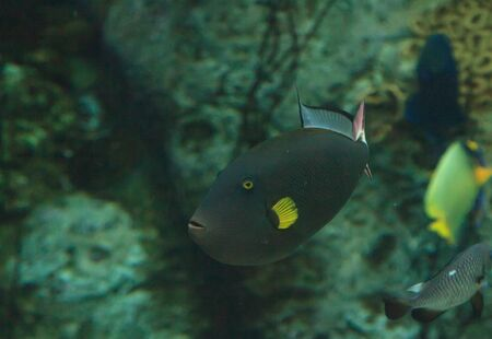 yellow tang: Black tang with yellow fins in a reef