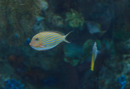 Clown tang fish, Acanthurus lineatus, is also called the zebra surgeonfish.