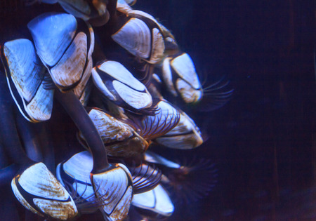 the oceans: Pelagic gooseneck barnacles, Lepas anatifera, are found in tropical and subtropical oceans all over the world. Stock Photo