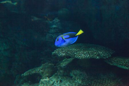 paracanthurus: Palette tang fish, Paracanthurus hepatus, is also called the royal blue tang