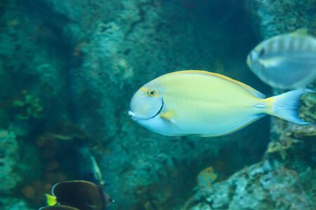 cano: Yellowfin Surgeonfish,  Acanthurus xanthopterus, on a reef