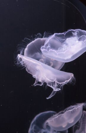 gonads: Moon jellyfish, Aurelia aurita, is translucent and has four horseshoe-like gonads visible. It drifts with the current throughout most of the worlds oceans.