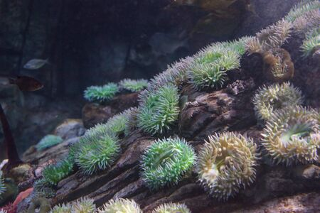 California sea anemone, Anthopleura elegantissima, is also called the aggregating anemone and the clonal anemone 스톡 콘텐츠