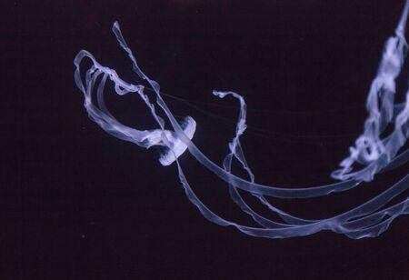 undulating: Atlantic sea nettle jellyfish, Chrysaora quinquecirrha, swims by undulating.