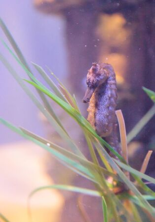 pot bellied: Pot bellied seahorse, Hippocampus, clings to seaweed Stock Photo