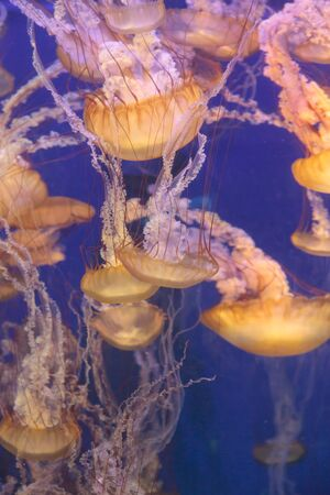 pulsing: Pacific sea nettle jellyfish, Chrysaora fuscescens, is found along the coast of California and Oregon in the United States. Stock Photo