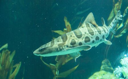 fining: Zebra shark, Stegostoma fasciatum, also called the leopard shark, is a species of carpet shark and is found throughout the tropical Indo-Pacific.