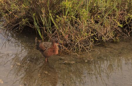 shorebird: Clapper rail shorebird, Rallus longirostris, foraging in a marsh for food.