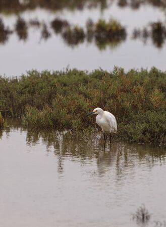 wetland: Snowy Egret, Egretta thula, forages in a marsh in Southern California